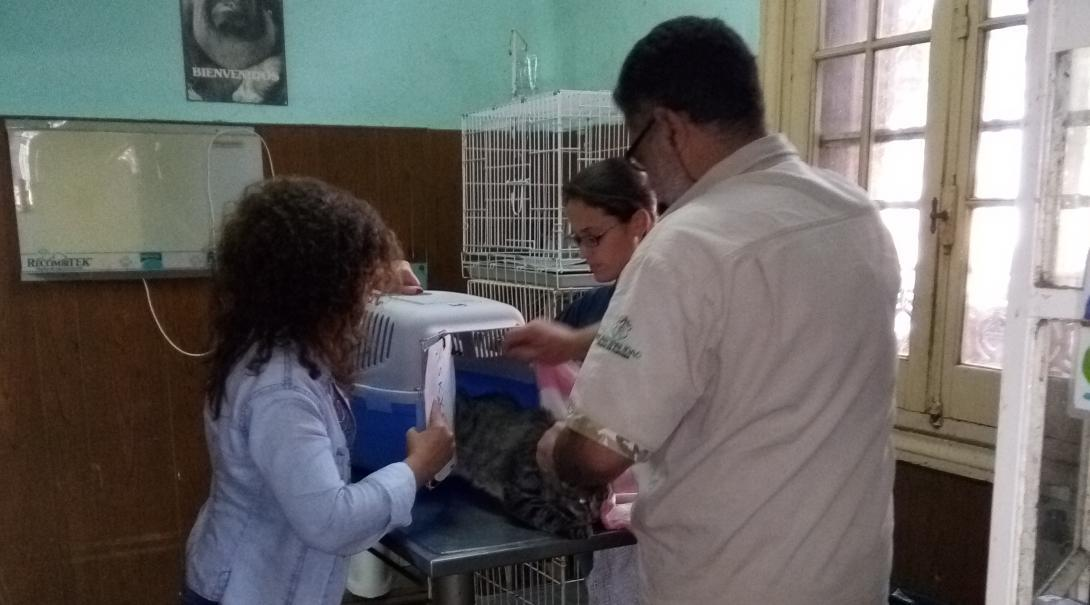 A local vet is assisted at a clinic by a Projects Abroad volunteer working with animals in Argentina.
